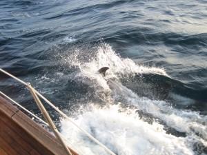 Dolfijnen bij de boot